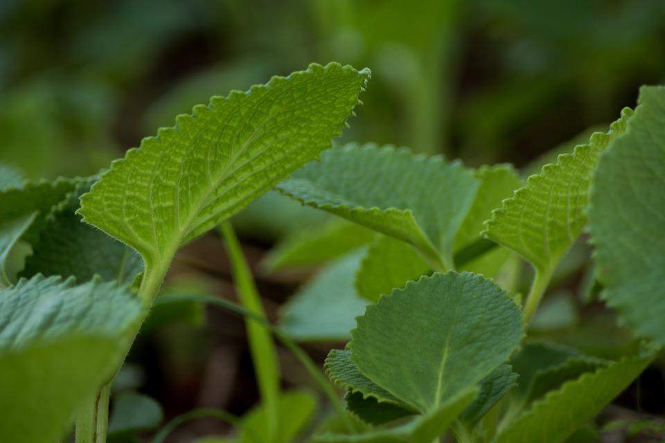 Ayurveda Herb