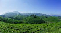 Hill Tea estate in Kerala