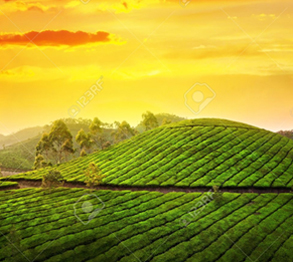 Kerala Tea Estate